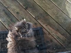 Hello Cutie! (joeldinda) Tags: outdoorcat feral 4447 weatheredwood chat cat deck gato kitty february potter omd em1 em1ii winter olympus omdem1mkii mulliken home 2019 35365