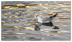 Golden Waters (naomi.batwoman) Tags: bird black headed gull water river gold beak colour nikon d7100 different change swim drink
