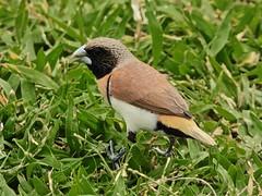 Lonchura castaneothorax (Faapuroa) Tags: animaux tahiti polynesia polynésie nature vini bird oiseau lonchura castaneothorax nikon p1000 coolpix