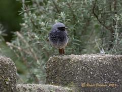 Black Redstart 08 (Roger Dickens) Tags: blackredstart phoenicurusochruros urbanbird southbirmingham pentaxda150400 pentaxk3
