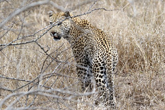 Leopard (Panthera pardus) (Ardeola) Tags: leopard africanleopard pantherapardus krugernationalpark kruger southafrica mammal cat wildlife