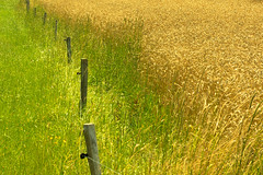 SoS: Colorproof fence (Valérie C) Tags: grass field green yellow rural agriculture barrier fence nature summer france auvergne wheat fancyfence smileonsaturday