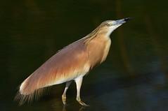 Squacco Heron  (Ardeola ralloides) (Ian N. White) Tags: squaccoheron ardeolaralloides gaborone botswana