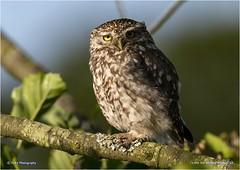 Little Owl (Athene noctua) (Jud's Photography) Tags: littleowl athenenoctua owl bird