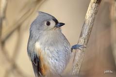 Tufted Titmouse (jt893x) Tags: 150600mm baeolophusbicolor bird d500 jt893x nikon nikond500 sigma sigma150600mmf563dgoshsms songbird titmouse tuftedtitmouse thesunshinegroup coth coth5 alittlebeauty