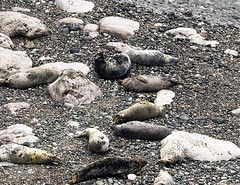 Seals among the rocks (Gill Stafford) Tags: gillstafford gillys image photograph wales northwales conwy little orme penrhynbay rhosonsea seal greyatlantic wild colony angelbay mammal