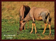 TOPI (Damaliscus lunatus jimela)......MASAI MARA......SEPT 2018 (M Z Malik) Tags: nikon d3x 200400mm14afs kenya africa safari wildlife masaimara keekoroklodge exoticafricanwildlife topi ngc