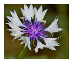 Cornflower (Graham Pym On/Off) Tags: flora flower nikon nature colours cornflower d7100 devon meadow macro coth5 coth