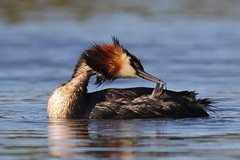 Great Crested Grebe (Alan Gutsell) Tags: greatcrestedgrebe great crested grebe waterfowl lake kaiapoi lakes christchurch newzealand alan nature canon camera wildlife
