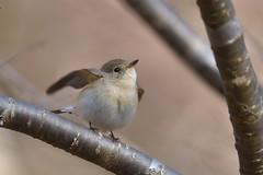 オジロビタキ (myu-myu) Tags: nature bird wildbird ficedulaparva redbreastedflycatcher nikon d500 野鳥 オジロビタキ japan