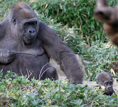 Saambili sets off on her own. (rsheath76) Tags: dallaszoo gorillas baby westernlowlandgorilla faces