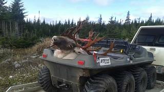 Newfoundland Caribou Hunt, Moose, Bear Hunting 164