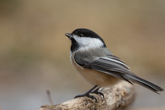 Black-capped Chickadee-44975.jpg (Mully410 * Images) Tags: drinking birdwatching birding backyard blackcappedchickadee bird birds birder chickadee