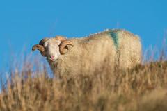 Curly (Maria-H) Tags: sheep ram horns glossop pennines peakdistrict highpeak derbyshire uk olympus omdem1markii panasonic 100400