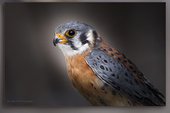 American Kestrel / Crécerelle d'Amérique / Falco sparverius (FRITSCHI PHOTOGRAPHY) Tags: crécerelledamérique americankestrel falcosparverius uqrop chouetteàvoir