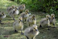 Goslings (moniquerebanks) Tags: goslings adorable cute fluffy park geese babygeese london uk nature ganzen oison ansarino papero gansjes vogels birds natureatitsbest nikond7100 donzig outdoors natuur closeup gansekuken younggeese kuikentje