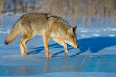 1412_0346 Coyote (wild prairie man) Tags: coyote canislatrans wildlife animal mammal predator winter snow ice cold frozenpond hunting scent trail beautiful wild prairie frenchmanriver grasslandsnationalpark saskatchewan canada copyrighted jamesrpage