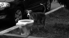 EN ESPERA. MIRAFLORES. PERÚ. (tupacarballo) Tags: miraflores lima perú tupacarballo canon perro animal can dog inodoro blancoynegro blackwhite streetphotography canonpowershotg15