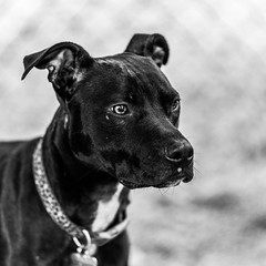 Penny18Jan201914-Edit.jpg (fredstrobel) Tags: dogs pawsatanta phototype atlanta blackandwhite usa animals ga pets places pawsdogs decatur georgia unitedstatesofamerica us