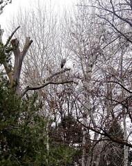A long range view (EcoSnake) Tags: greatblueheron ardeaherodias birds widlife winter january trees idahofishandgame naturecenter