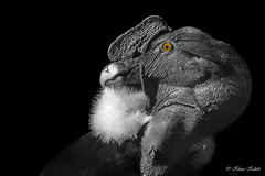 Andenkondor - 18021903 (Klaus Kehrls) Tags: natur vögel greifvögel kondor andenkondor portrait colorkey
