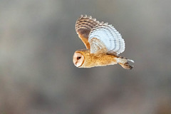 Barn Owl (davidswaschnig) Tags: cherry creek state park barn owl sunset low light flight wildlife