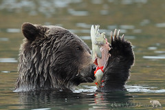 Fish Egg Dinner (PamsWildImages) Tags: grizzly bc britishcolumbia bear canada canon nature naturephotographer wildlife wildlifephotographer pamswildimages pammullins salmon river