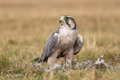 Lanner Falcon D85_4125.jpg (Mobile Lynn) Tags: lanner falcon bird lannerfalcon prey birdofprey nature falcobiarmicus falconidae