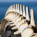 Gray Whale Spine