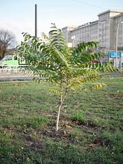 Der Baum. / 12.11.2018 (ben.kaden) Tags: berlin friedrichshain stadtnatur frankfurtertor petersburgerstrase 2018 12112018