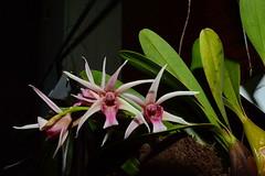 Epigeneium (PiotrM) Tags: orchid flower epigeneium