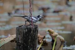 DSCF6414 (jojotaikoyaro) Tags: bird animal nature wildlife suginami tokyo japan fujifilm xh1 xf100400mm