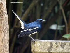 DSCN5442 Oriental Magpie Robin (Copsychus saularis) (vlupadya) Tags: greatnature animal aves fauna indianbirds oriental magpie robin copsychus kundapura karnataka
