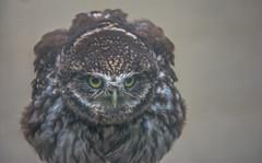 Little angry owl (Athene noctua) (Torok_Bea) Tags: little angry owl athenenoctua littleowl kuvik nikon nikond7200 nikond natur nature strigiformes strigidae aves bird birds birdshot amazing cute lovely lovenatur verycute nikon28300mm mérgesbagoly méregzsák