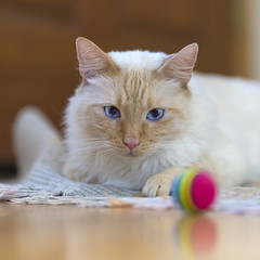 Red Rubber Ball (vtom61) Tags: cat cutecat siamese redpointsiamese flamepoint flamepointsiamese sonya7riii sonya7r3 sonyfe85mmf18