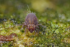 Dicyrtoma fusca (Kugelspringer) Collembola (AchimOWL) Tags: macro makro natur nature animals tiere gx80 dmcgx80 panasonic lumix postfocusstack stacking insekt insect raynox springtail kugelspringer collembola outdoor schärfentiefe ngc macrodreams tier fauna bielefeld deutschland natursteinmauer