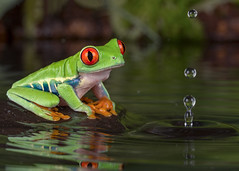 Red-Eyed Tree Frog, CaptiveLight, Ringwood, Hampshire, UK (rmk2112rmk) Tags: redeyedtreefrog captivelight treefrog frog water splash reflection amphibian dof bokeh macro drop agalychnis callidryas