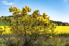 Double Yellow (red stilletto) Tags: northeastvictoria dookie canola spring wattle farm farming