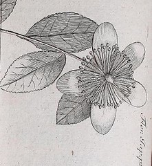 This image is taken from Page 274 of Flora Japonica : sistens plantas insvlarvm Japonicarvm secvndvm systema sexvale emendatvm : redaetas ad XX classes, ordines, genera et species : cvm differentiis specificis, synonymis pavcis, descriptionibvs concinnis (Medical Heritage Library, Inc.) Tags: plant physiology rcplondon ukmhl medicalheritagelibrary europeanlibraries date1784 idb28039725