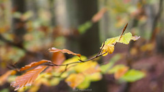 Autumn 4th of november 2018 (lisaheemstra) Tags: autumn terschelling woods olympus omd meike 35mm