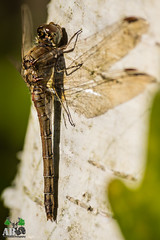 2018-11-02-003.jpg (Andy Beattie Photography) Tags: andybeattie andybeattiephotography castleford commondarter dragonfly england europe fairburnings halifax insect leeds nature naturephotography naturereserve photographer photography rspb slta77v sony sonya77 sonyalpha sympetrumstriolatum uk westyorkshire wildlife wildlifephotography yorkshire ledston unitedkingdom