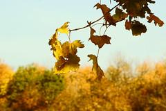 Осень на фоне неба / Autumn in the sky (Владимир-61) Tags: осень октябрь природа листва ветка небо autumn october nature foliage branch sony ilca68 minolta28135