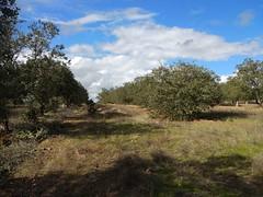 IMG_20181121_125702 (Fernando Moital) Tags: azinhal montado lpn ataboeira castroverde azinheiras