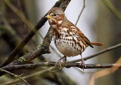 Fox Sparrow (snooker2009) Tags: bird fox sparrow nature wildlife pennsylvania migration fall red rust orange