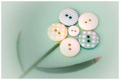 Button Growth (Inky-NL) Tags: macromondays buttons dotsandstripes ingridsiemons©2018 hmm flower knop knoop knopen dots stripes stippen strepen bloem