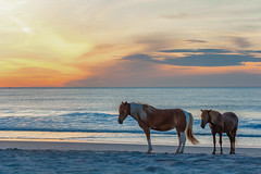 Assateague Sunset Ponies by Angela Multhup (Maryland DNR) Tags: 2018 photocontest wildlife mammals ponies horses assateague shore ocean beach sunset