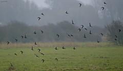 Starling Murmur (ianbartlett) Tags: outdoor mist murk wildlife nature birds seal bull water river pylons colour loght