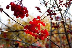 Herbst - Autumn (ivlys) Tags: hessen hesse odenwald oberramstadt gewöhnlicher schneeball viburnumopulus pflanze plant rot red herbst autumn natur nature ivlys