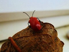 Red headed cardinal beetle (helenoftheways) Tags: beetle red leaf pyrochroaserraticornis