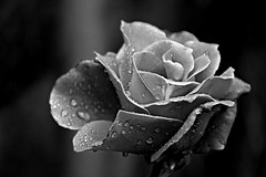 Nature in black and white(3): After the rain (PURIFM) Tags: flower nature drops macro rose rosa naturaleza blackandwhite gotas rain lluvia monochrome